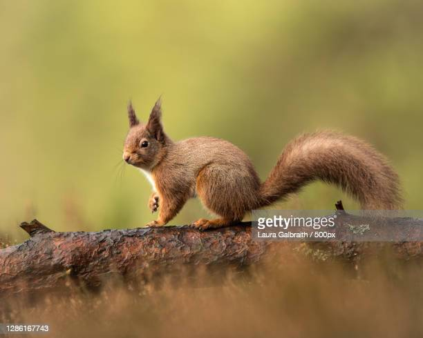 close-up of squirrel on tree trunk,united kingdom,uk - january stock pictures, royalty-free photos & images