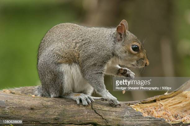 close-up of squirrel on tree,murieston,scotland,united kingdom,uk - gray squirrel stock pictures, royalty-free photos & images