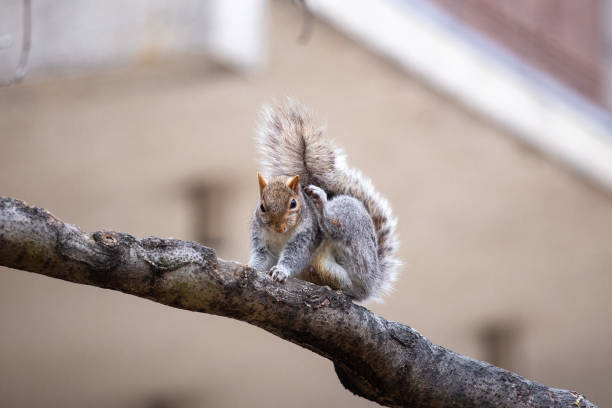 Close-up of squirrel on tree,Philadelphia,Pennsylvania,United States,USA