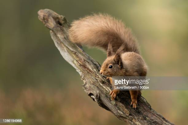 close-up of squirrel on tree,united kingdom,uk - grampian scotland stock pictures, royalty-free photos & images