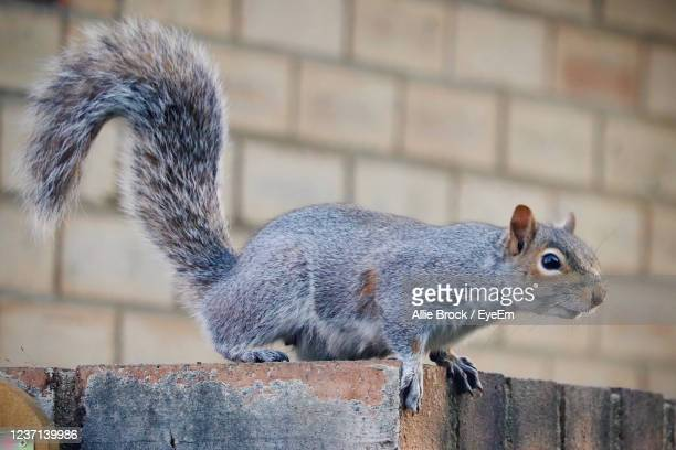 close-up of squirrel on wall - squirrel stock pictures, royalty-free photos & images