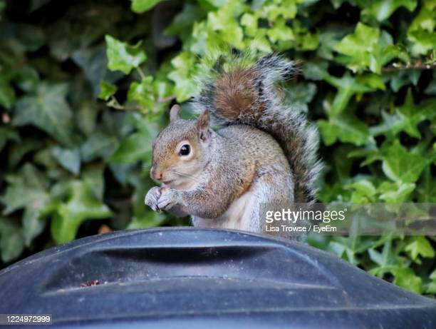 close-up of squirrel - esher stock pictures, royalty-free photos & images