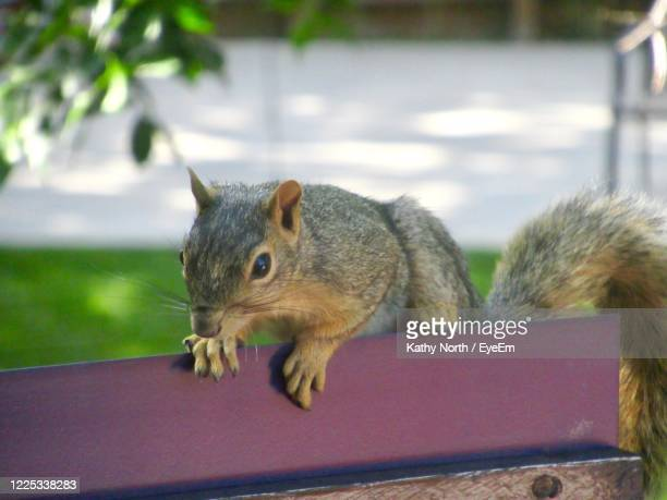 close-up of squirrel - castle rock colorado stock pictures, royalty-free photos & images