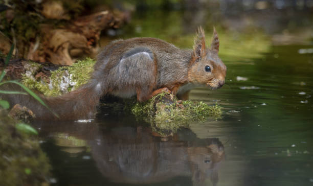 Close-up of squirrel swimming in lake,Stavanger,Norway
