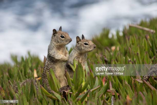 close-up of squirrels in grass (sciuridae) - squirrel stock pictures, royalty-free photos & images