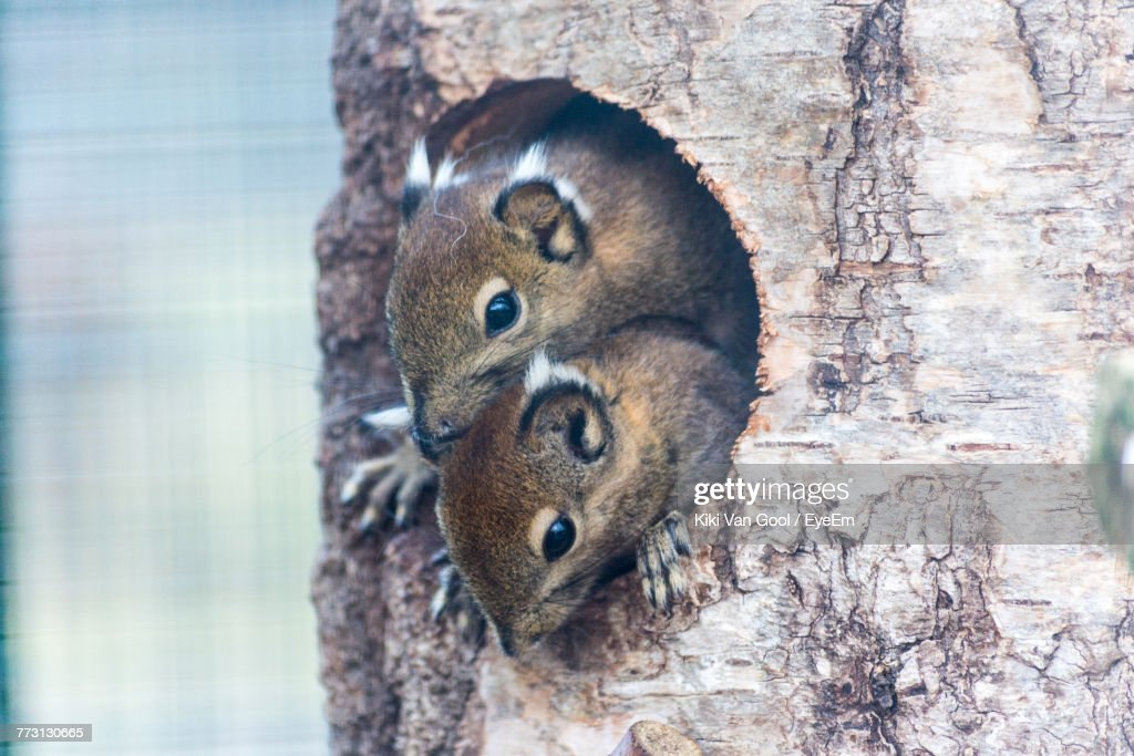 Close-Up Of Squirrels On Tree Trunk : Photo
