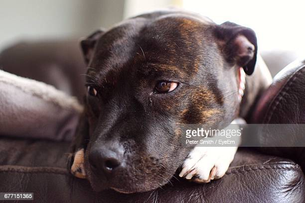 close-up of staffordshire bull terrier relaxing on sofa at home - staffordshire bull terrier stock pictures, royalty-free photos & images