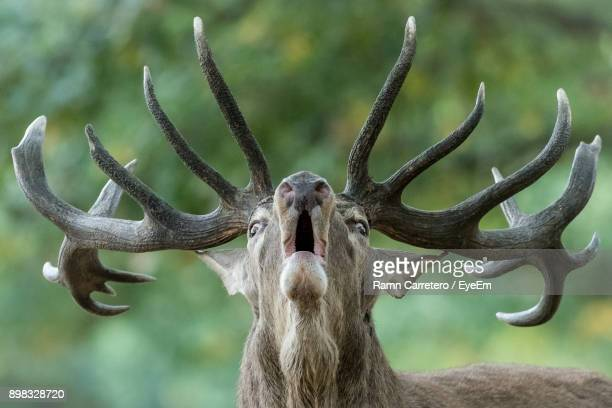 close-up of stag with mouth open - antler stock pictures, royalty-free photos & images