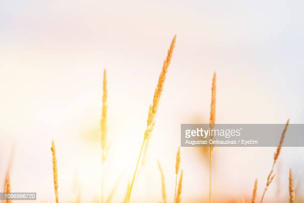 close-up of stalks against clear sky - cetkauskas stock pictures, royalty-free photos & images