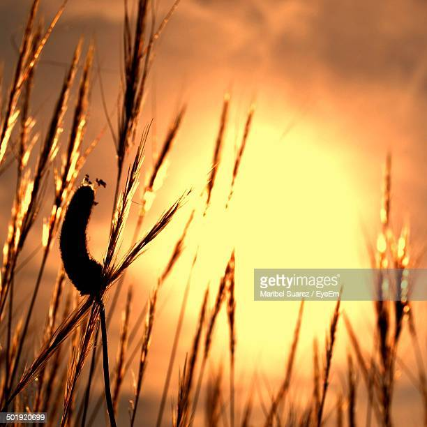 close-up of stalks against clear sky - suarez stock pictures, royalty-free photos & images