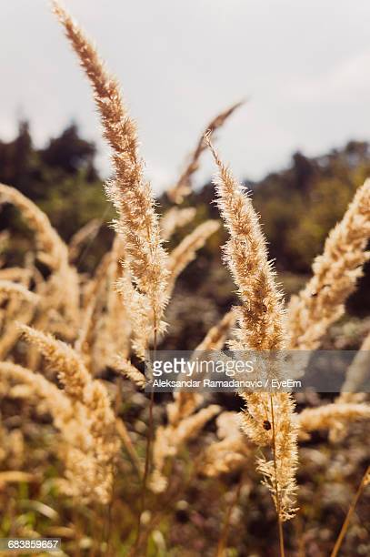 close-up of stalks growing in field against sky - reed grass family stock pictures, royalty-free photos & images