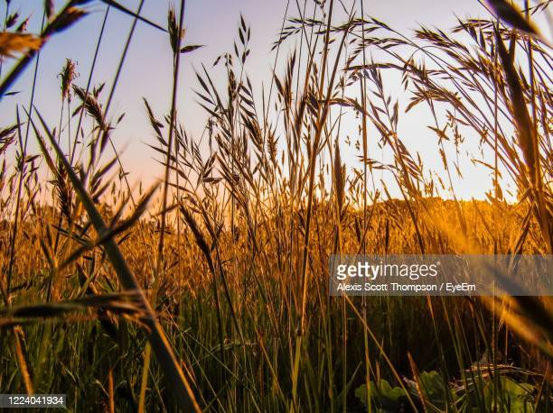 close-up of stalks in field against sky - nostalgia stock pictures, royalty-free photos & images
