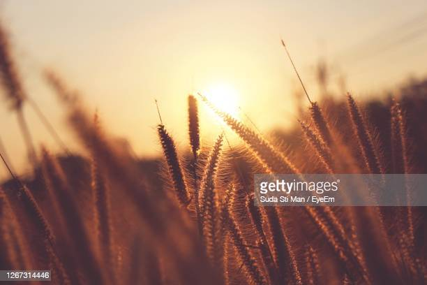 close-up of stalks in field against sunset sky - rye grain stock pictures, royalty-free photos & images
