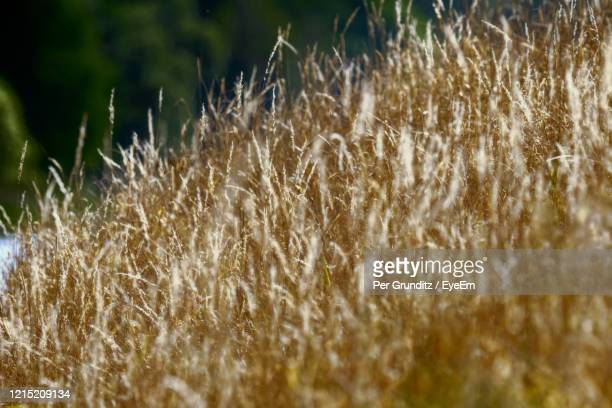 close-up of stalks in field on hot summer day - per grunditz stock pictures, royalty-free photos & images