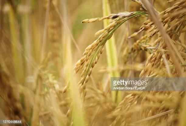 close-up of stalks in field - india stock pictures, royalty-free photos & images