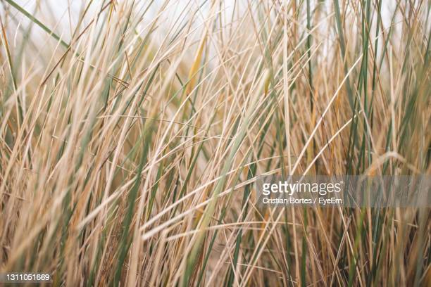 close-up of stalks in field - bortes stock pictures, royalty-free photos & images
