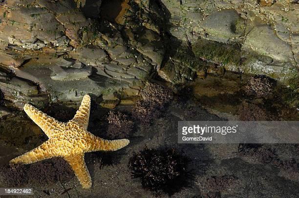 Primer plano de estrella de mar en la costa del Pacífico Tidepool