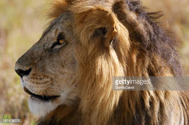 Close-up of Staring Wild Male African Lion