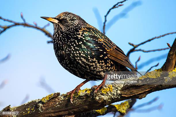 Close-Up Of Starling On Tree Branch