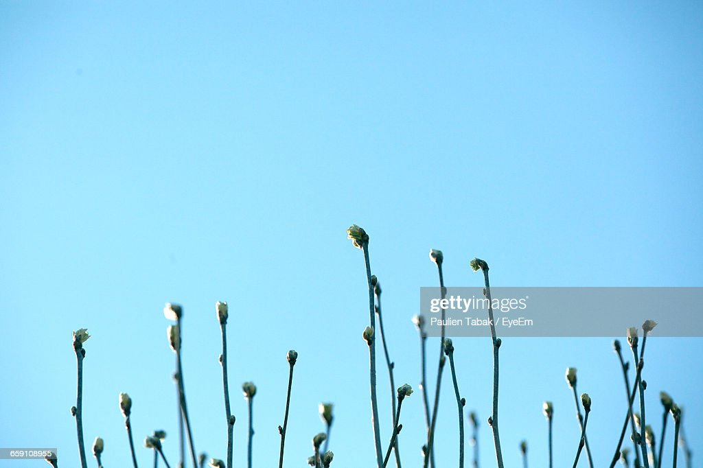 Close-Up Of Stems Against Clear Blue Sky : Bildbanksbilder