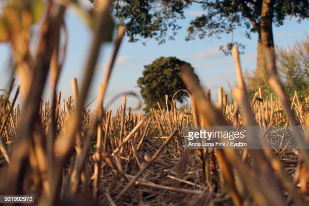 Close-Up Of Straw On Field During Sunset