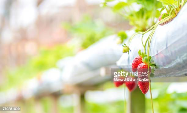 Close-Up Of Strawberries Growing In Greenhouse
