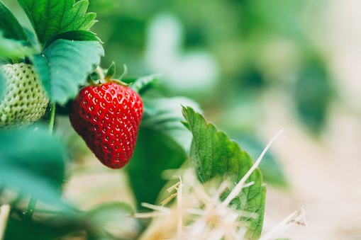 Close-Up Of Strawberries Growing On Field - gettyimageskorea