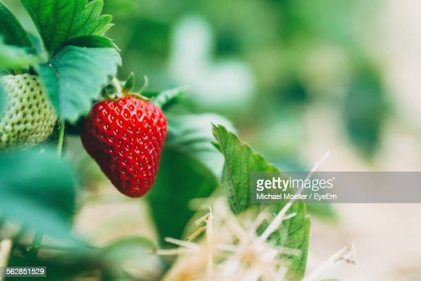 close-up of strawberries growing on field - strawberry stock pictures, royalty-free photos & images