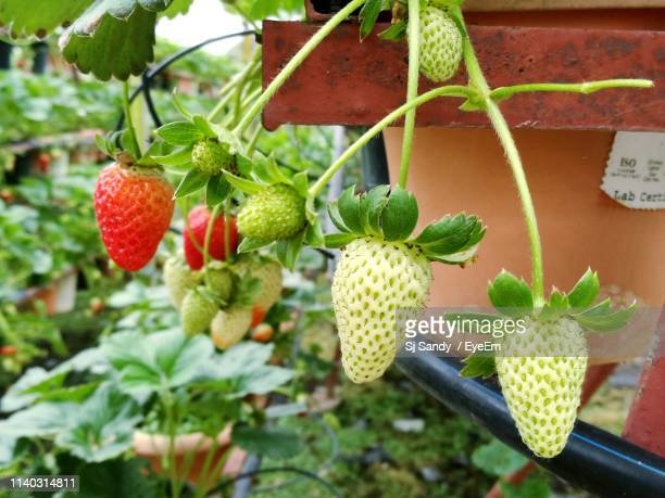 close-up of strawberries growing on plant - unripe stock pictures, royalty-free photos & images