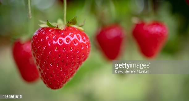 close-up of strawberries hanging on plant - strawberry stock pictures, royalty-free photos & images
