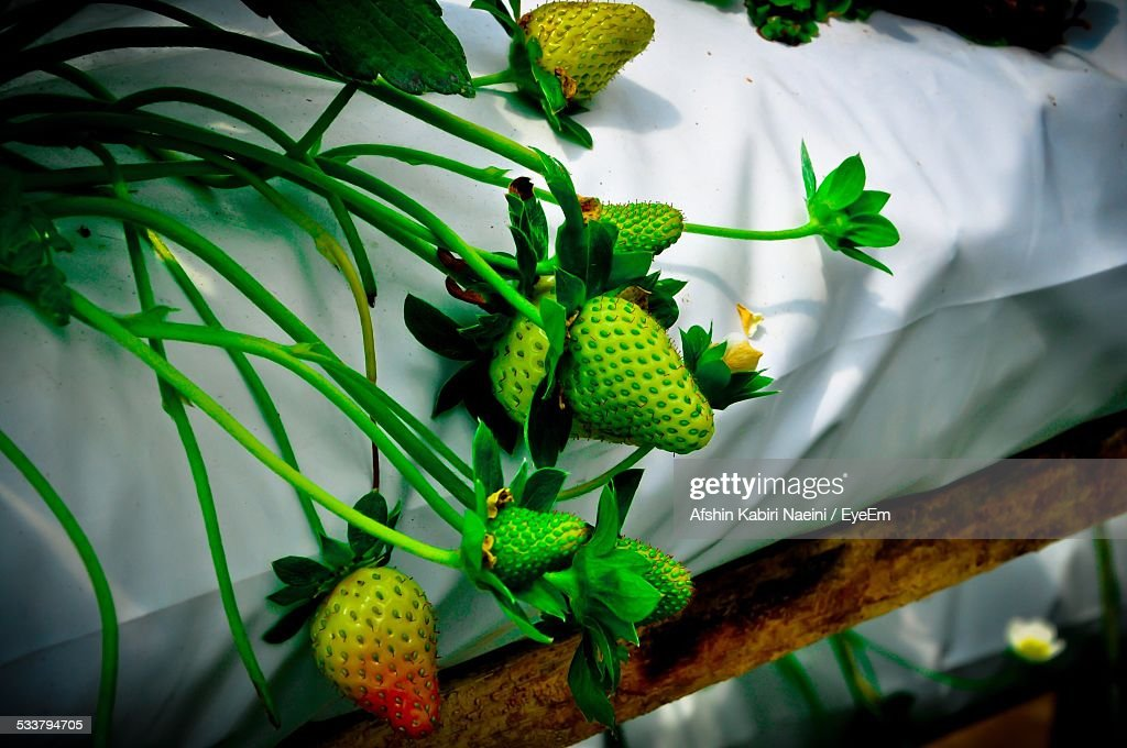 Close-Up Of Strawberries In Greenhouse : Foto stock