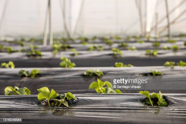 close-up of strawberries on greenhouse - hainaut stock pictures, royalty-free photos & images