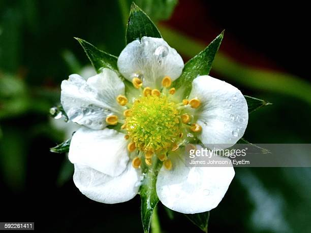 Close-Up Of Strawberry Flower Blooming Outdoors