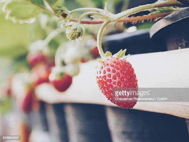 Close-Up Of Strawberry Fruits Plant