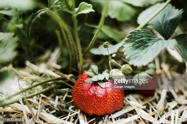 close-up of strawberry growing on plant - juin photos et images de collection