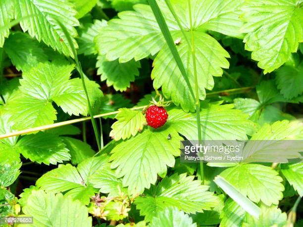 Close-Up Of Strawberry Growing On Plant