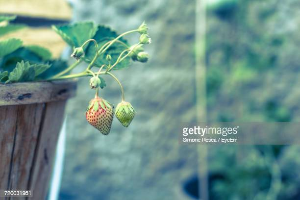 close-up of strawberry growing - unripe stock pictures, royalty-free photos & images