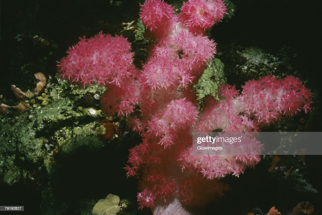 Close-up of Strawberry Soft Coral underwater, Palau : Foto de stock