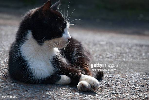 close-up of stray cat resting on road - piotr hnatiuk stock pictures, royalty-free photos & images