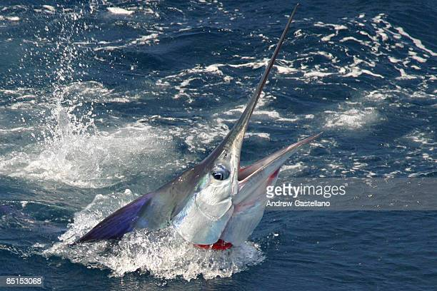 closeup of striped marlin coming out of the water - marlin stock photos and pictures