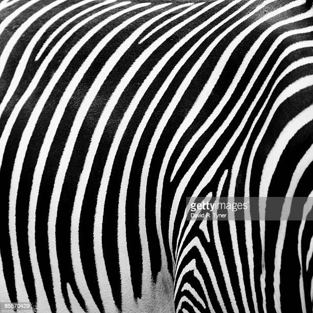 Close-up of striped Zebra