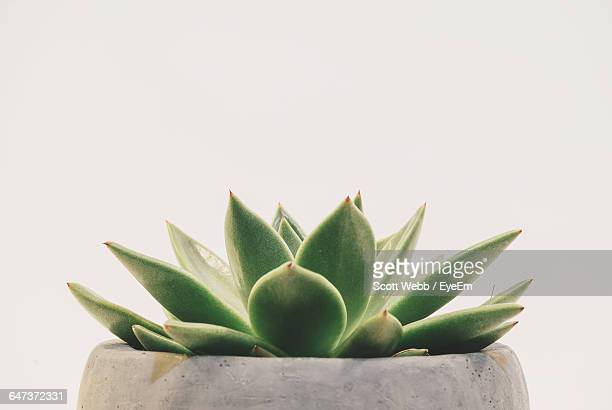 close-up of succulent plant against white background - succulent stock pictures, royalty-free photos & images