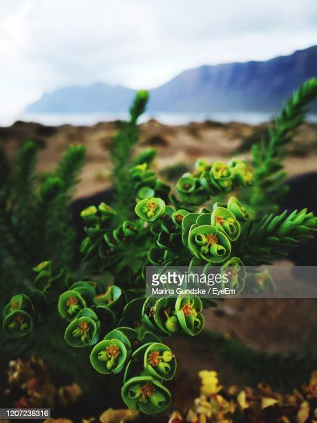 close-up of succulent plant in field - puerto del carmen stock pictures, royalty-free photos & images