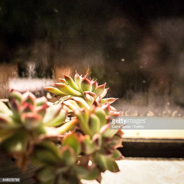 Close-Up Of Succulent Plant In Pot With Windowsill