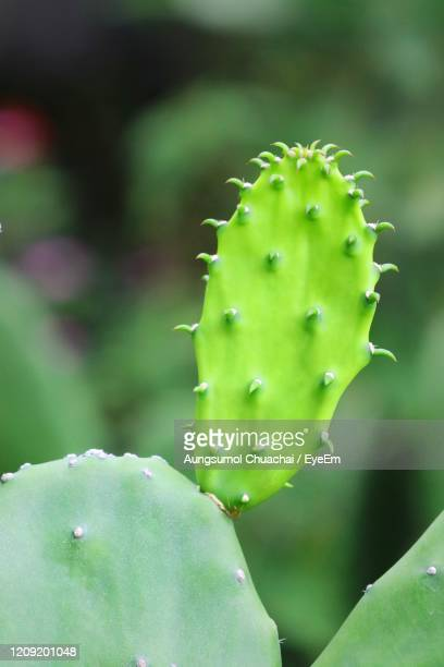 close-up of succulent plant. new born cactus with blurred green cactus background. - aungsumol stock pictures, royalty-free photos & images