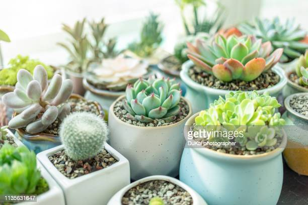 close-up of succulent plants - houseplant stock pictures, royalty-free photos & images