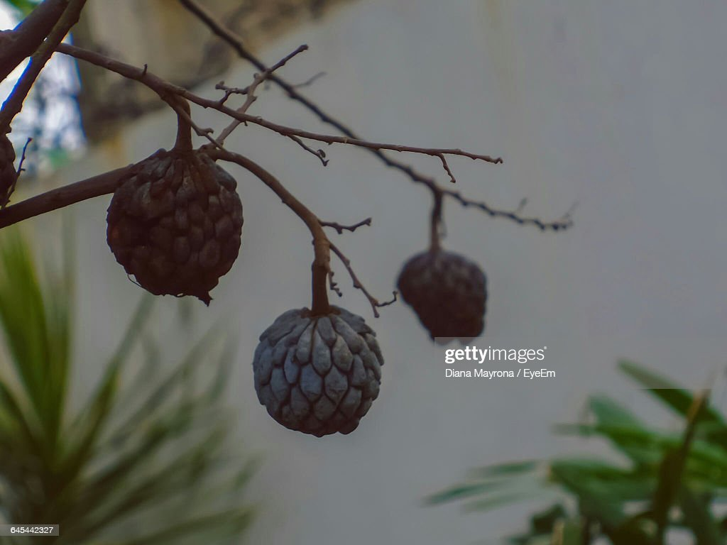 Close-Up Of Sugar Apple Fruit Growing On Tree : Foto de stock