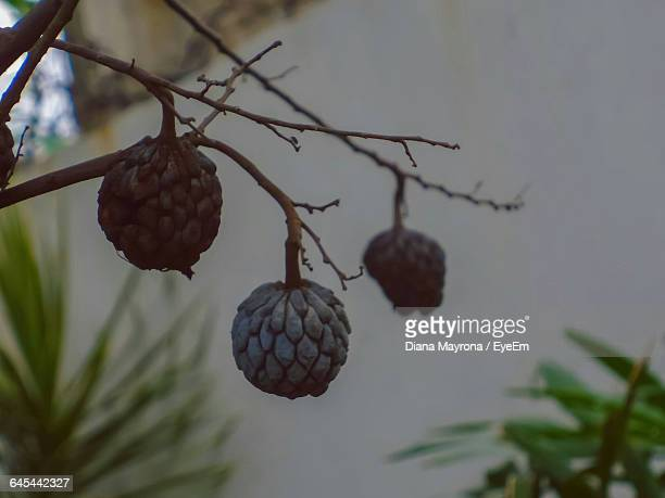 Close-Up Of Sugar Apple Fruit Growing On Tree