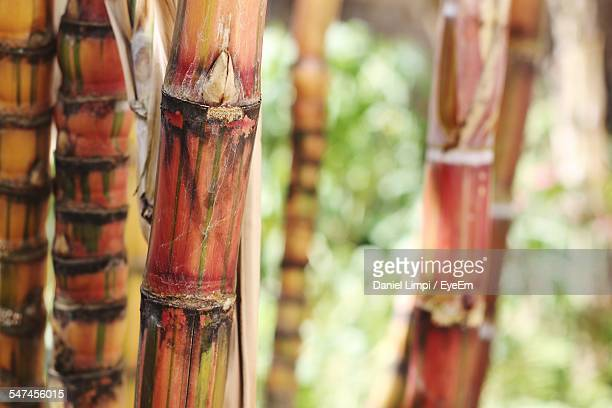 Close-Up Of Sugar Cane On Field