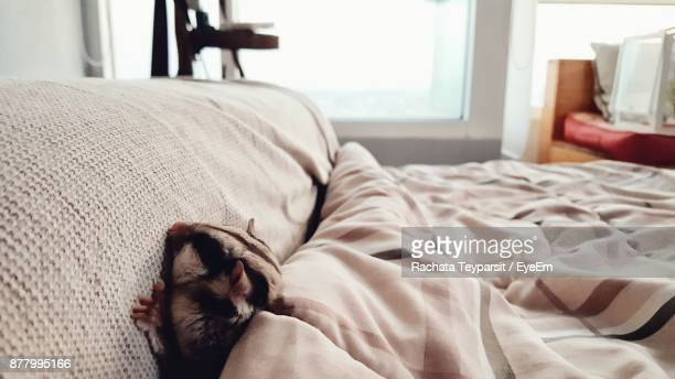 close-up of sugar glider on bed at home - sugar glider stock photos and pictures